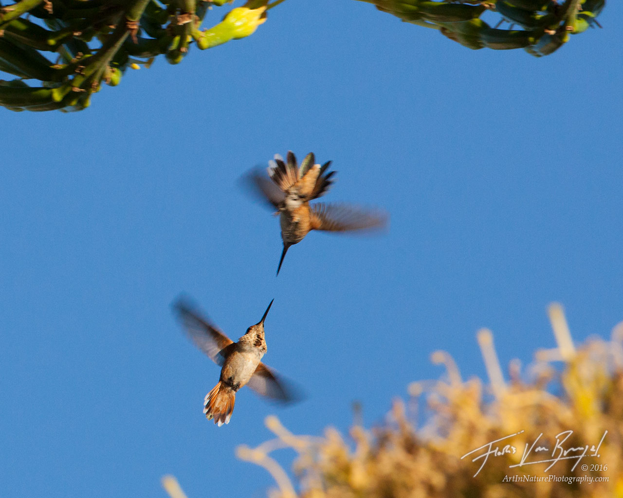 Two Rufous Hummingbirds go at it among the flowers!