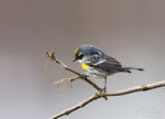Yellow-rumped Warbler (Dendroica coronata), Ithaca, New York, migrant, sapsucker woods