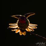 Anna's Hummingbird (Calypte anna), Mount Diablo State Park, California,