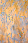 Golden Grains, Mount Diablo State Park, California, wild oats