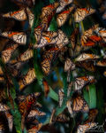 Monarch Butterflies Roosting in Grove, Pismo Beach, California, Danaus plexippus