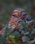 Burrowing Owls (Athene cunicularia), Salton Sea, California,