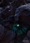Sacred Datura at Fossil Falls, Owen's Valley, California, karma, Datura wrightii, basalt