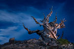 Ancient Bristlecone at Night with Light Painting, White Mountains, California, wicked witch of the west, Pinus aristata