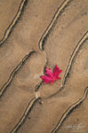 Maple Leaf Sand Abstract, Zion National Park, Utah, maple designs, fall, design