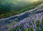 Spring Lupines, Santa Monica Mountains, California, spring fever, green, rolling hills, wildflowers, wildfire