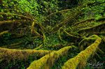 Moss, Hoh Rainforest in Olympic National Park, Washington, vine maples