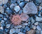 Barrel Cactus, Death Valley National Park, California