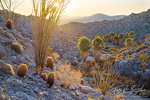 Cacti and Palm Oasis, Anza-Borrego State Park, California Desert