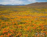 California Poppies and Goldfields, Antelope Valley, California