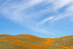California Poppies, Antelope Valley, California