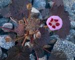 Desert Five Spot, Super Bloom, Death Valley National Park