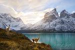 Guanacos, Torres del Paine National Park, Cuernos del Paine