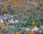 Horned Lark, Wildflowers, Anza-Borrego