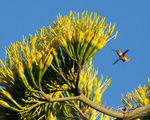 Rufous Hummingbird, Century Plant, Agave americana
