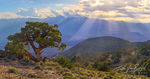 Juniper Tree, Inyo Mountains, Sierra Nevada