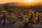 Cholla Cacti, Kofa Mountains, Arizona