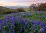 Lupine, Spring Flowers, Columbia River Gorge