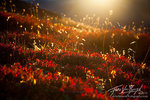 North Cascades Blueberry Patch in Fall, Sunrise, Washington