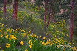 Ponderosa Forest, Spring Flowers, Leavenworth Washington