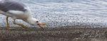 mono lake, seagull, alkali flies, flies