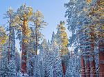 Giant Sequoias, Snow and Sunshine, Winter
