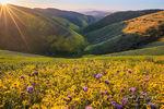 Carrizo Plains, Superbloom, Flowers