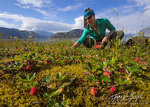 Picking Wild Strawberries, Glacier Bay National Park, Alaska