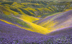 Carrizo Plains, Superbloom, Flowers