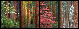 Sequoias Four Seasons, Sequoia National Park, California, dogwoods, spring, fall, summer, winter