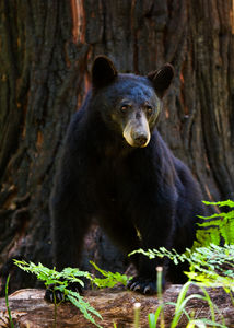 Black Bear, King's Canyon National Park, California, forest,