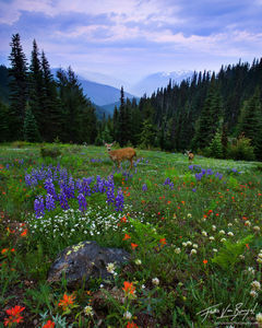 Mule Deer in Flowers on Hurricane Ridge, Olympic National Park, Washington, alpine morning, spring, meadows