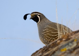 California Quail Callipepla californica, Foothills, California,