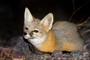 Kit Fox, Death Valley National Park, California