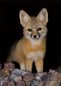 Kit Fox (Vulpes macrotis), Death Valley National Park, desert, nocturnal