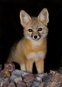 Kit Fox (Vulpes macrotis), Death Valley National Park, desert, nocturnal,