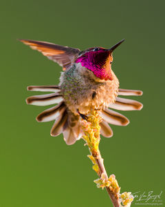 Anna's Hummingbird Stretching, Mount Diablo State Park, California, green