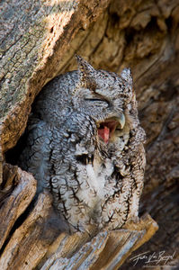 Cute Owl (Eastern Screech-Owl - Otus asio), Ithaca, New York,