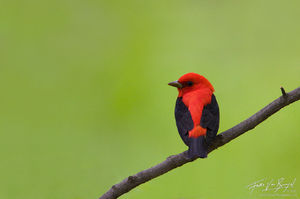 Scarlet Tanager (Piranga olivacea), Sapuscker Woods in Ithaca, New York,
