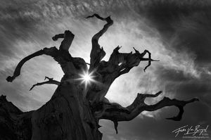 Ancient Bristlecone Pine, White Mountains, California, wretched,