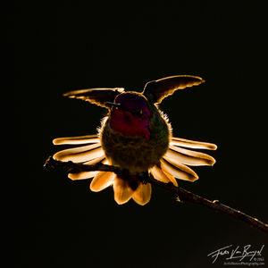 Anna's Hummingbird (Calypte anna), Mount Diablo State Park, California