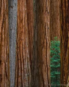Sequoia Grove (Sequoiadendron giganteum), Kings Canyon National Park, peeking through