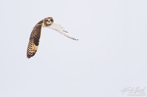 Short-eared Owl (Asio flammeus), Ithaca, New York