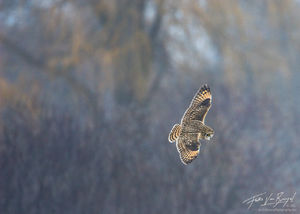 Short-eared Owl Hunting, Ithaca, New York, Asio flammeus,