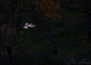 White-tailed Kite Hovering, Mount Diablo State Park, California, Elanus leucurus