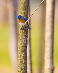 Eastern Bluebird Sialia sialis, Ithaca, New York