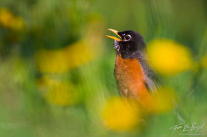 American Robin Singing in Spring, Ithaca, New York, Turdus migratorius