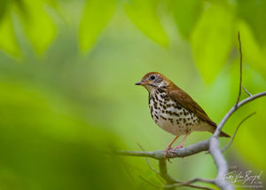 Wood Thrush Hylocichla mustelina, Sapsucker Woods in Ithaca, New York