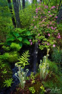 Sapsucker Woods in Spring with Azalea and Ferns, Ithaca, New York,