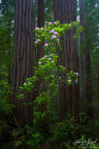 Rhododendrons Blooming, Redwood National Park, California, flowers for giants,
